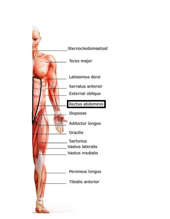 Building That Six Pack Upper Abs Rectus Abdominis Bodygame